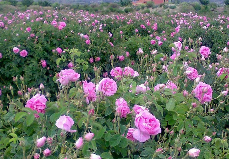 Rose-Cultivation2